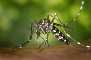 species: Tiger Mosquito Image